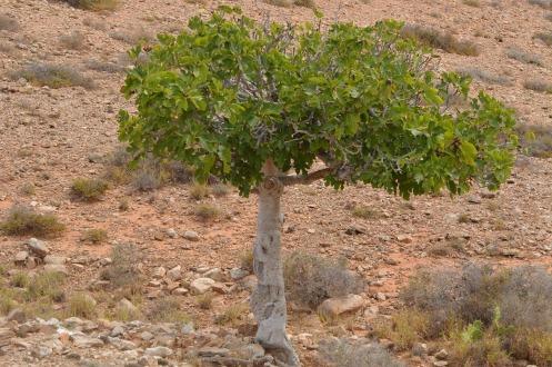 fig-tree-900320_1280